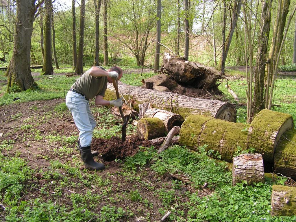 Skattmästaren planterar lind på Prästgårdsön