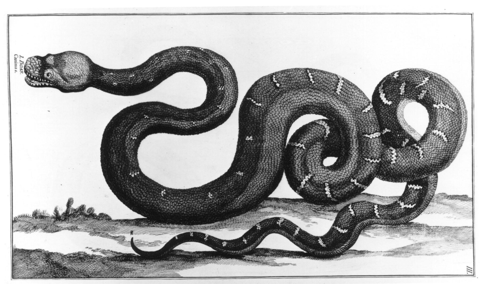 """Orm, tecknad av Dalin för Linnés bok """"Hans Maj:ts Adolf Frideriks (---) Naturalie Samling (---), 1754."""